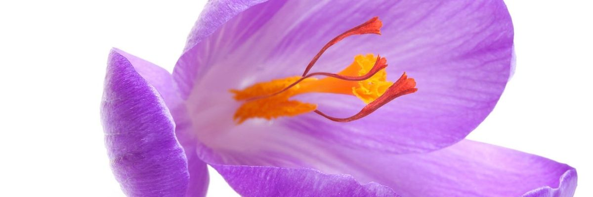 Crocus Sativus (Saffron) Flower Extract