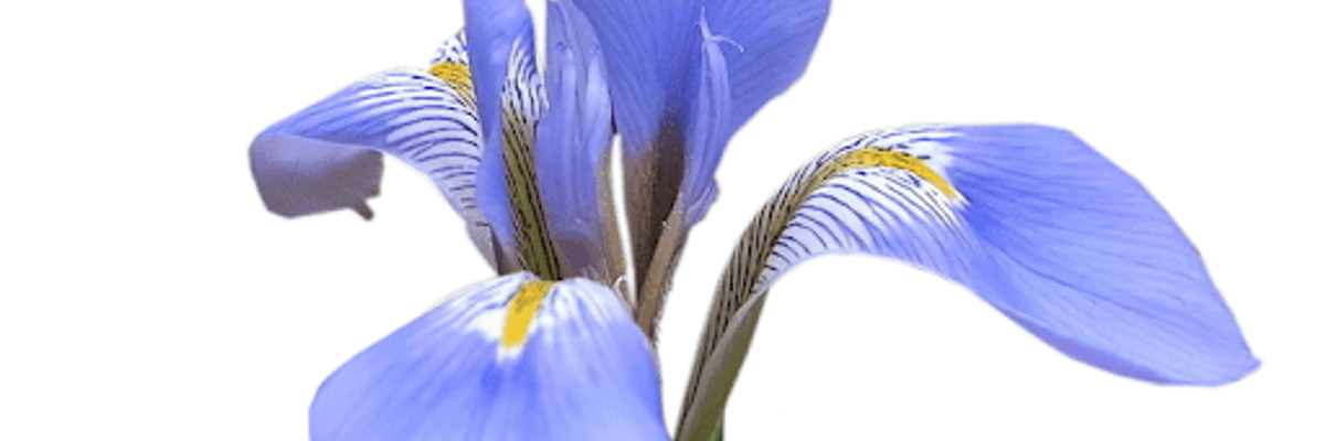 Iris Sibirica Floral Water